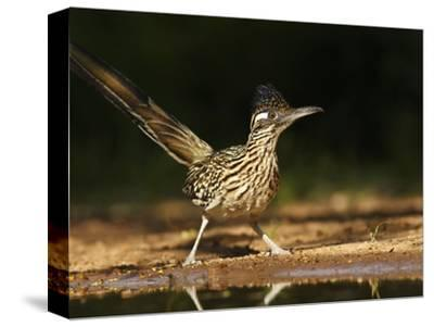 Greater Roadrunner, Texas, USA-Larry Ditto-Stretched Canvas Print