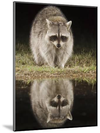 Northern Raccoon, Uvalde County, Hill Country, Texas, USA-Rolf Nussbaumer-Mounted Photographic Print