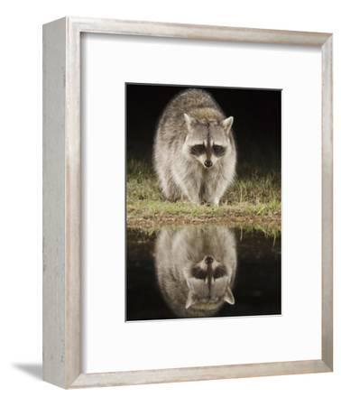 Northern Raccoon, Uvalde County, Hill Country, Texas, USA-Rolf Nussbaumer-Framed Photographic Print