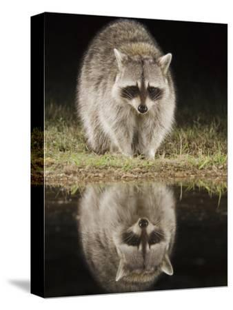 Northern Raccoon, Uvalde County, Hill Country, Texas, USA-Rolf Nussbaumer-Stretched Canvas Print