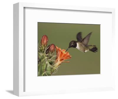 Black-Chinned Hummingbird, Uvalde County, Hill Country, Texas, USA-Rolf Nussbaumer-Framed Photographic Print