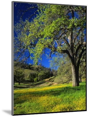 Oaks and Flowers, California, USA-John Alves-Mounted Photographic Print
