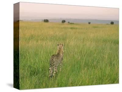 Cheetah (Acinonyx Jubatus) in the Grass, Maasai Mara National Reserve, Kenya-Keren Su-Stretched Canvas Print