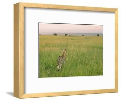 Cheetah (Acinonyx Jubatus) in the Grass, Maasai Mara National Reserve, Kenya-Keren Su-Framed Photographic Print