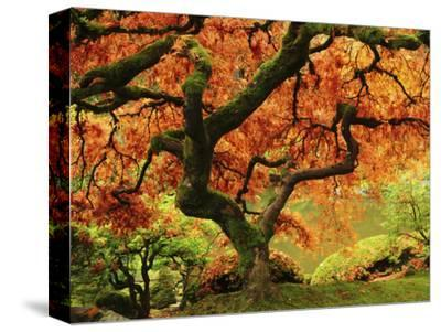 Japanese Maple in Full Fall Color, Portland Japanese Garden, Portland, Oregon, USA-Michel Hersen-Stretched Canvas Print