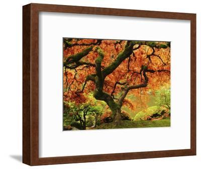 Japanese Maple in Full Fall Color, Portland Japanese Garden, Portland, Oregon, USA-Michel Hersen-Framed Photographic Print