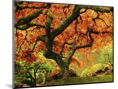 Japanese Maple in Full Fall Color, Portland Japanese Garden, Portland, Oregon, USA-Michel Hersen-Mounted Photographic Print