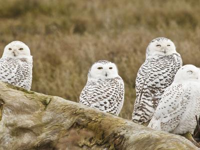 Snowy Owl, Boundary Bay, British Columbia, Canada-Rick A^ Brown-Premium Photographic Print