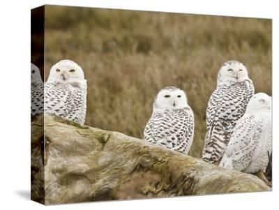 Snowy Owl, Boundary Bay, British Columbia, Canada-Rick A^ Brown-Stretched Canvas Print