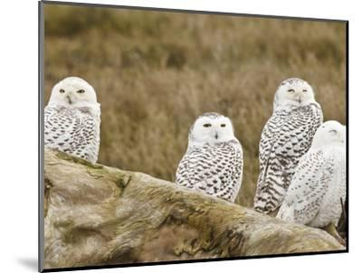 Snowy Owl, Boundary Bay, British Columbia, Canada-Rick A^ Brown-Mounted Photographic Print
