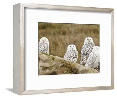 Snowy Owl, Boundary Bay, British Columbia, Canada-Rick A^ Brown-Framed Photographic Print