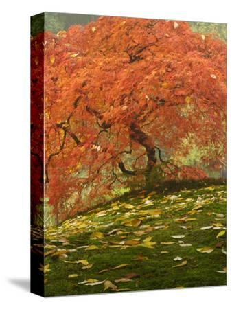 Japanese Maple at the Portland Japanese Garden, Oregon, USA-William Sutton-Stretched Canvas Print