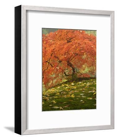 Japanese Maple at the Portland Japanese Garden, Oregon, USA-William Sutton-Framed Photographic Print