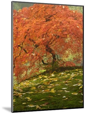 Japanese Maple at the Portland Japanese Garden, Oregon, USA-William Sutton-Mounted Photographic Print