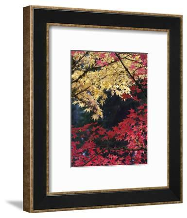 Maple Trees, Portland Japanese Garden, Oregon, USA-William Sutton-Framed Photographic Print