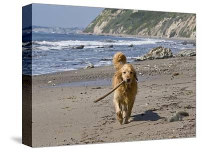 A Golden Retriever Walking with a Stick at Hendrey's Beach in Santa Barbara, California, USA-Zandria Muench Beraldo-Stretched Canvas Print