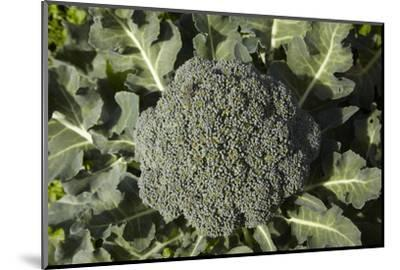 Broccoli Growing in the Garden-David Wall-Mounted Photographic Print