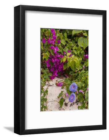 Morning Glory and Bougainvillea Flowers, Princess Cays, Eleuthera, Bahamas-Lisa S^ Engelbrecht-Framed Photographic Print