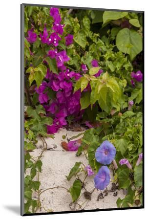 Morning Glory and Bougainvillea Flowers, Princess Cays, Eleuthera, Bahamas-Lisa S^ Engelbrecht-Mounted Photographic Print