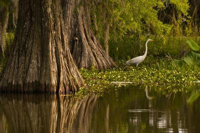 Bald Cypress and Great Egret in Swamp, Lake Martin, Louisiana, USA--Framed Photographic Print