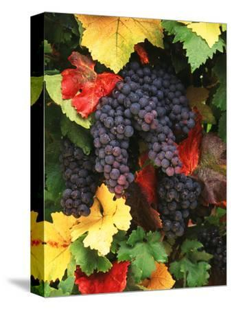 View of Pinot Noir Grape, Willamette Valley, Oregon, USA-Stuart Westmorland-Stretched Canvas Print