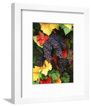 View of Pinot Noir Grape, Willamette Valley, Oregon, USA-Stuart Westmorland-Framed Photographic Print