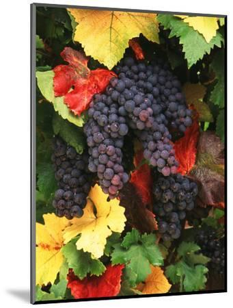 View of Pinot Noir Grape, Willamette Valley, Oregon, USA-Stuart Westmorland-Mounted Photographic Print