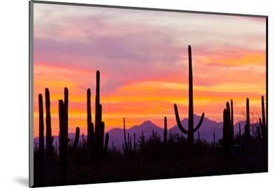 Saguaro Forest, Sonoran Desert, Saguaro National Park, Arizona, USA--Mounted Photographic Print