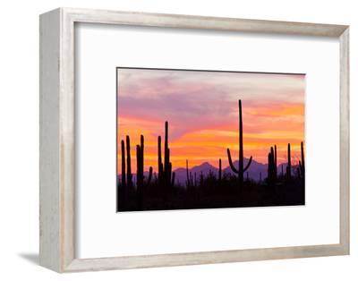 Saguaro Forest, Sonoran Desert, Saguaro National Park, Arizona, USA--Framed Photographic Print