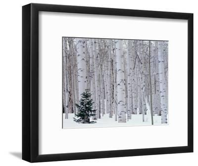 Aspen and Douglas Fir, Manti-Lasal National Forest, La Sal Mountains, Utah, USA-Scott T^ Smith-Framed Premium Photographic Print