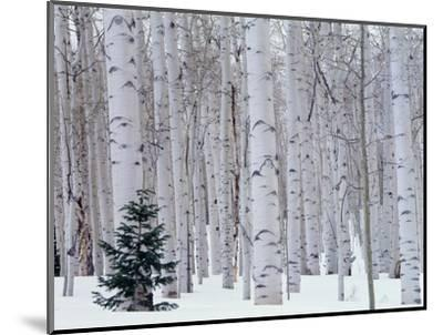 Aspen and Douglas Fir, Manti-Lasal National Forest, La Sal Mountains, Utah, USA-Scott T^ Smith-Mounted Premium Photographic Print