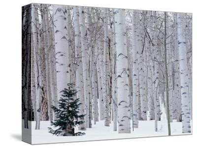 Aspen and Douglas Fir, Manti-Lasal National Forest, La Sal Mountains, Utah, USA-Scott T^ Smith-Stretched Canvas Print