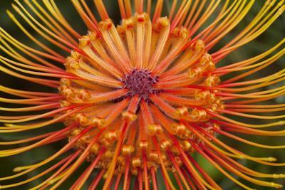 Protea Flower, Kula Botanical Garden, Upcountry, Maui, Hawaii, USA-Douglas Peebles-Photographic Print