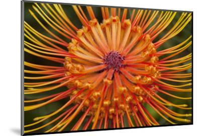 Protea Flower, Kula Botanical Garden, Upcountry, Maui, Hawaii, USA-Douglas Peebles-Mounted Photographic Print