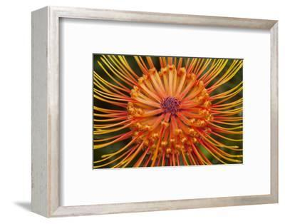Protea Flower, Kula Botanical Garden, Upcountry, Maui, Hawaii, USA-Douglas Peebles-Framed Photographic Print