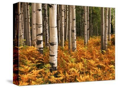 Stand of Quaking Aspen Tree, Gunnison National Forest, Colorado, USA-Adam Jones-Stretched Canvas Print