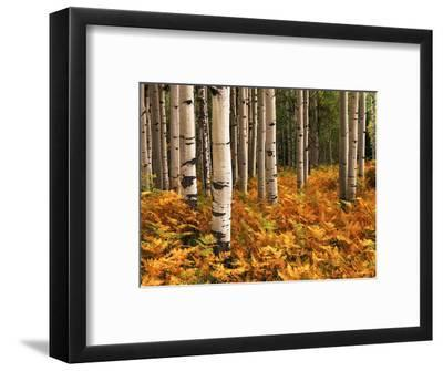 Stand of Quaking Aspen Tree, Gunnison National Forest, Colorado, USA-Adam Jones-Framed Photographic Print