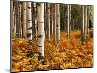 Stand of Quaking Aspen Tree, Gunnison National Forest, Colorado, USA-Adam Jones-Mounted Photographic Print