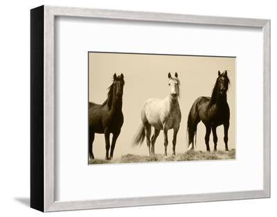 Wild Stallion Horses, Alkali Creek, Cyclone Rim, Continental Divide, Wyoming, USA-Scott T^ Smith-Framed Photographic Print