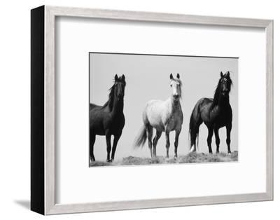 Wild Stallion Horses, Alkali Creek, Cyclone Rim, Continental Divide, Wyoming, USA-Scott T^ Smith-Framed Photographic Print