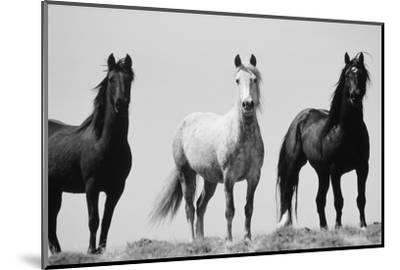 Wild Stallion Horses, Alkali Creek, Cyclone Rim, Continental Divide, Wyoming, USA-Scott T^ Smith-Mounted Photographic Print