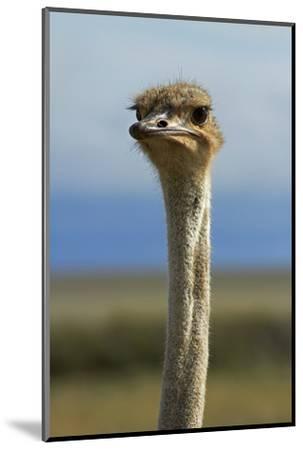 Ostrich, Etosha National Park, Namibia-David Wall-Mounted Photographic Print