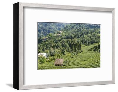 Tea Fields in Rize, Black Sea Region of Turkey-Ali Kabas-Framed Photographic Print