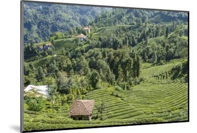 Tea Fields in Rize, Black Sea Region of Turkey-Ali Kabas-Mounted Photographic Print