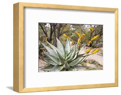 Cactus and Succulent Garden, Mountain Aloe, Tucson, Arizona, USA-Jamie & Judy Wild-Framed Photographic Print
