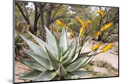 Cactus and Succulent Garden, Mountain Aloe, Tucson, Arizona, USA-Jamie & Judy Wild-Mounted Photographic Print
