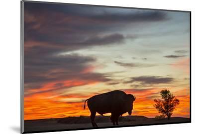 Bison Bull Silhouette, Theodore Roosevelt NP, North Dakota, USA-Chuck Haney-Mounted Photographic Print