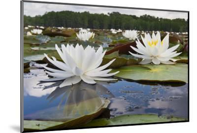 Fragrant Water Lily (Nymphaea Odorata) on Caddo Lake, Texas, USA-Larry Ditto-Mounted Photographic Print