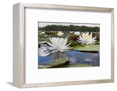 Fragrant Water Lily (Nymphaea Odorata) on Caddo Lake, Texas, USA-Larry Ditto-Framed Photographic Print