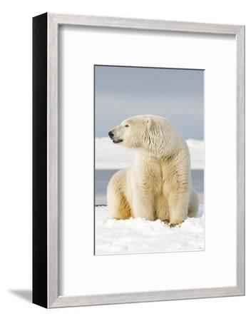 Polar Bear Sits Along Barrier Island, Bernard Spit, ANWR, Alaska, USA-Steve Kazlowski-Framed Photographic Print